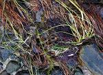vattenväxter ceramium20191123