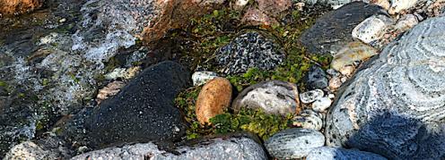 Liten filtkudde samling i strandkanten början juni.