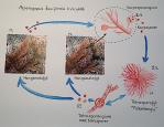 2 Asparagopsis taxiformislivscykel