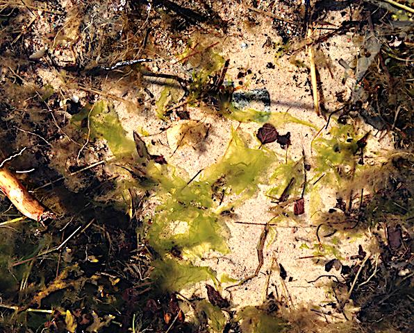 Bild 2 Strutsallat Räfsnäs sjöängen20200319