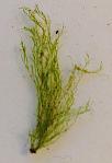5 Cladophora glomerata övervintrar20200325