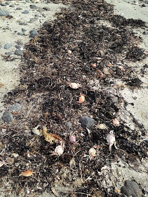 6 döda krabbor i tångvall20200532