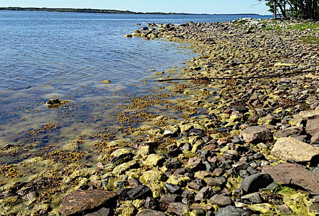 9 lågvatten_tång_grönslick Riddersholm 20200614