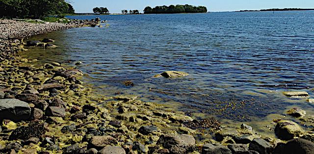 grönslick o tång lågvatten Riddersholm20200614
