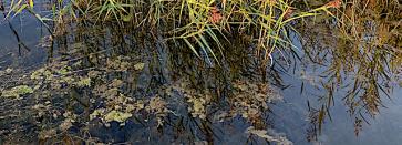 drivande alger i vass